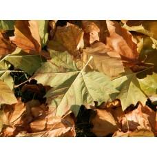 Herfstbladeren Eik