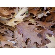 Herfstbladeren plataan